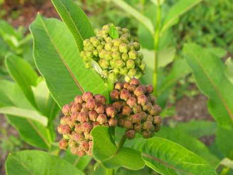 milkweed-blog.jpg