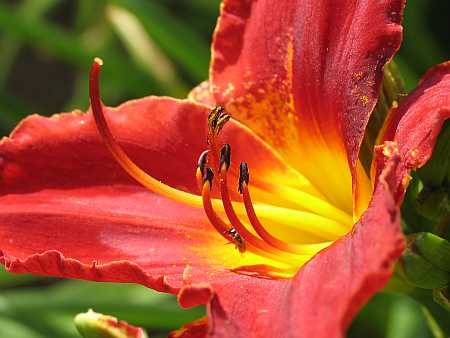 day-lily1-small.jpg