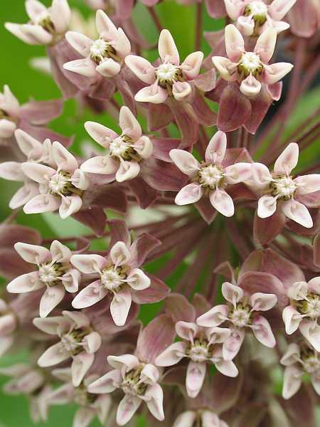 milkweed-flowers-small.jpg