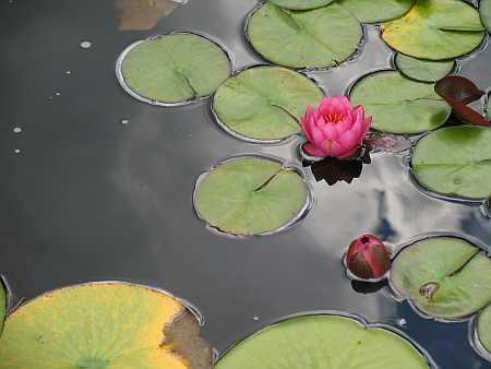 water-lillies4-small.jpg