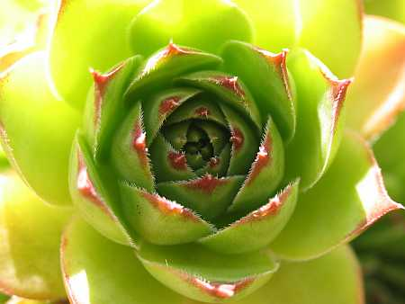 hens-and-chicks-small.jpg