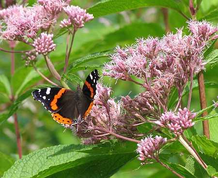 joe-pie-butterfly-small.jpg