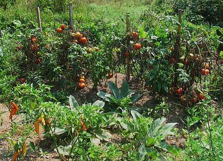 tomatoes-help-small.jpg