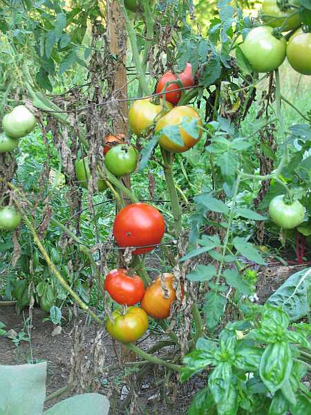 too-maters-small.jpg