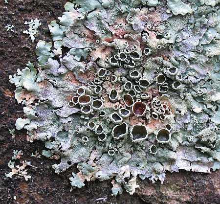 lichen-pastel-small.jpg