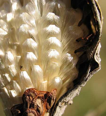milkweed-seeds-small.jpg