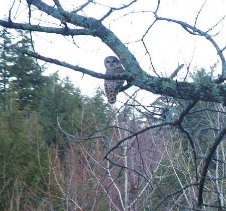 owl1-small.jpg
