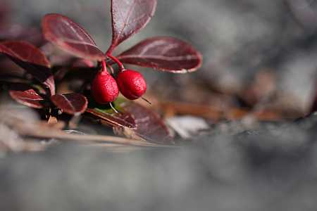 teaberries-small