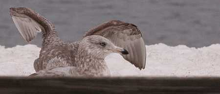 brown gulls
