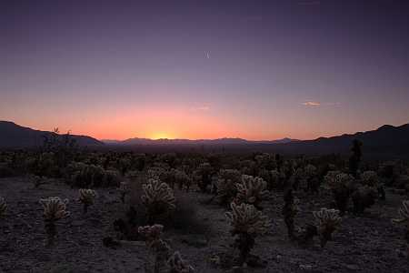 cholla field at sunrise