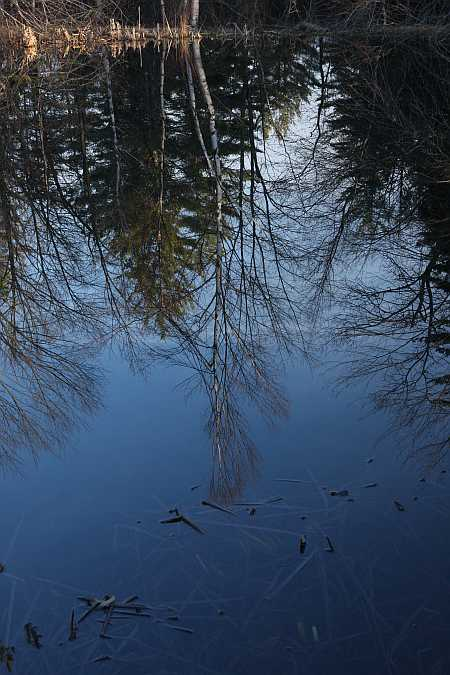 birch reflection