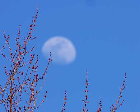 moon over maples
