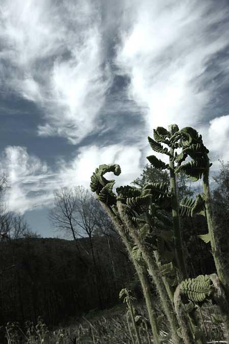infra red ferns