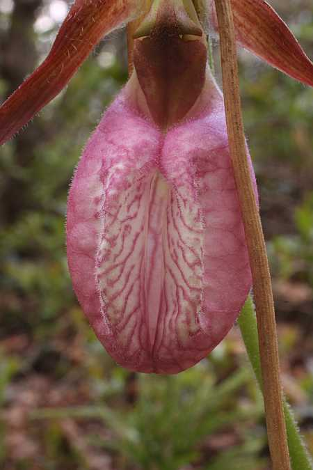 Lady's Slipper 2