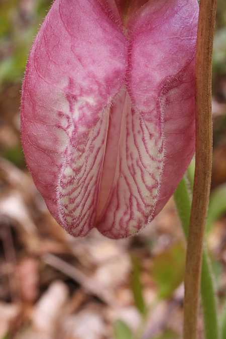Lady's Slipper 4