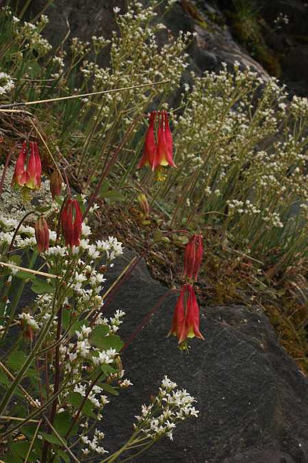red columbines and saxifrage
