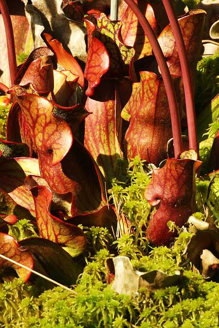 red mass of pitchers