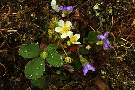 strawberries and violets