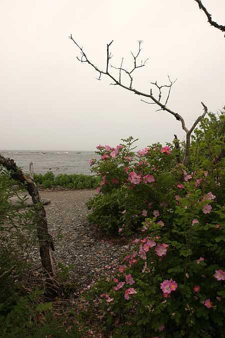 beach roses