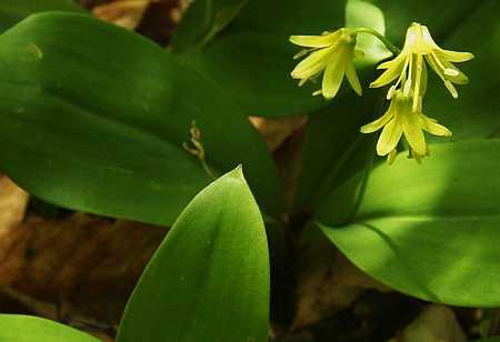 blue bead lilies