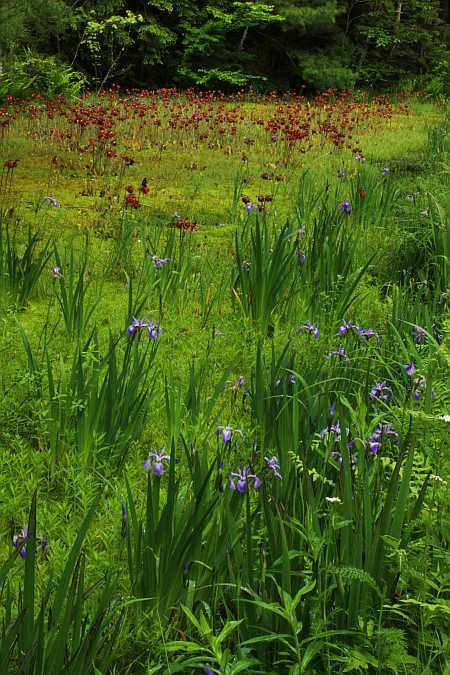 irises and pitchers