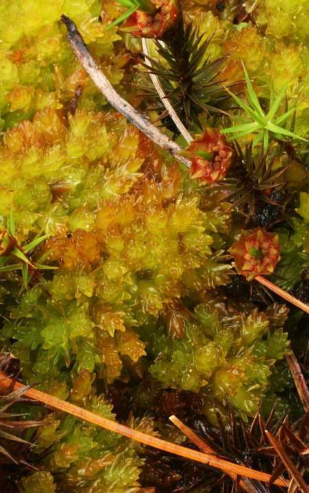 jellied moss