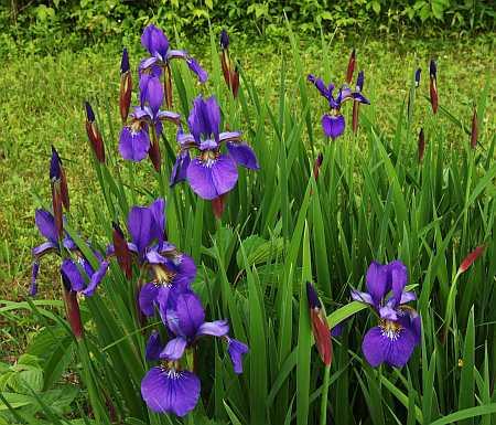 little irises
