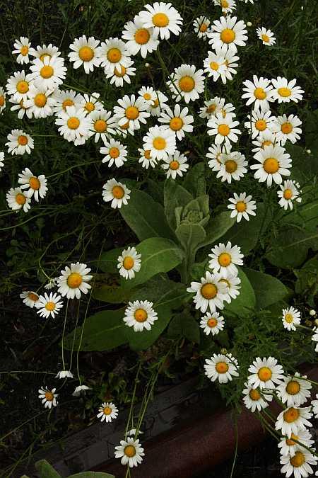 mullien under daisies