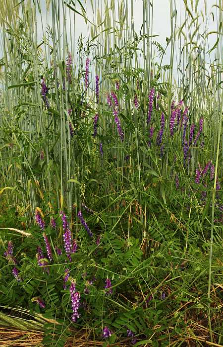 close-up, cow vetch and winter rye