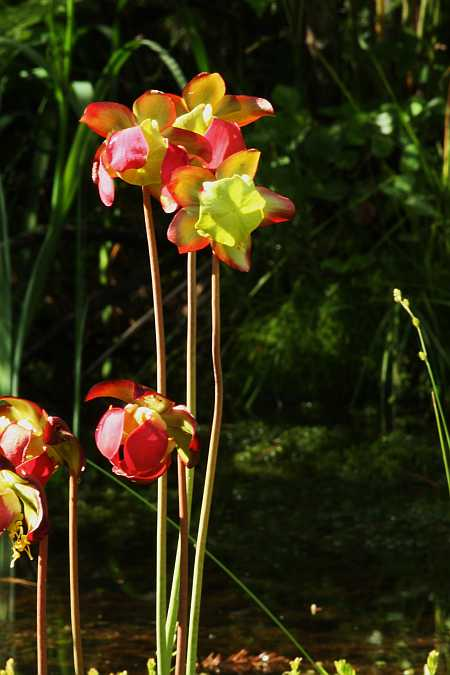 pitcher flowers