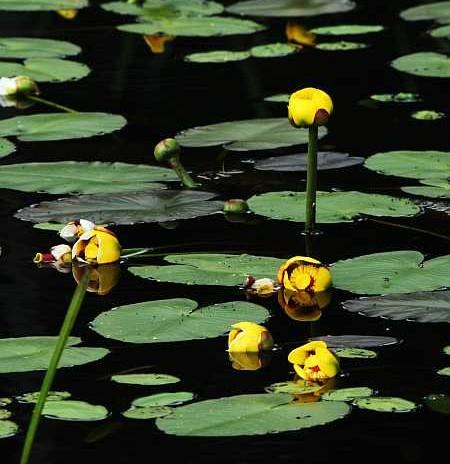 bullhead lilies