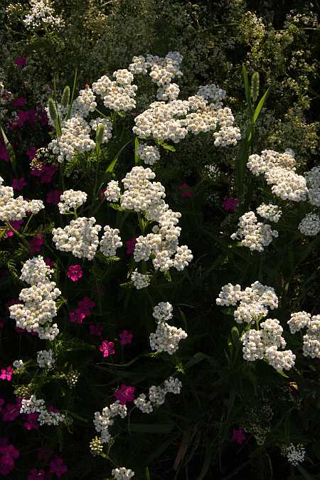 yarrow and dianthus