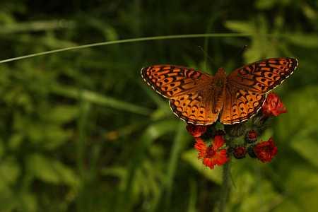 butterfly on hawkweed