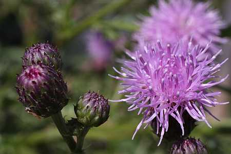 Canadian thistle impostor
