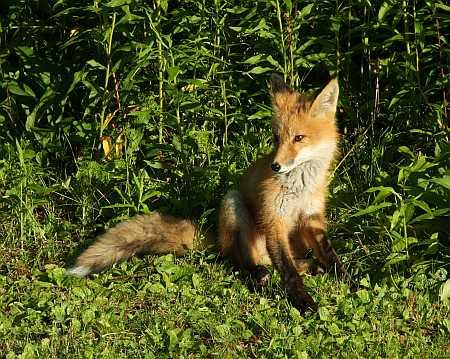sitting fox