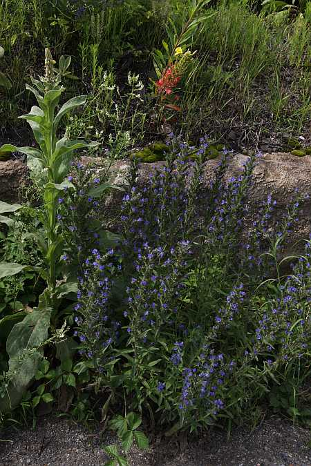 vipers' bugloss and company