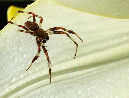 spider in lily