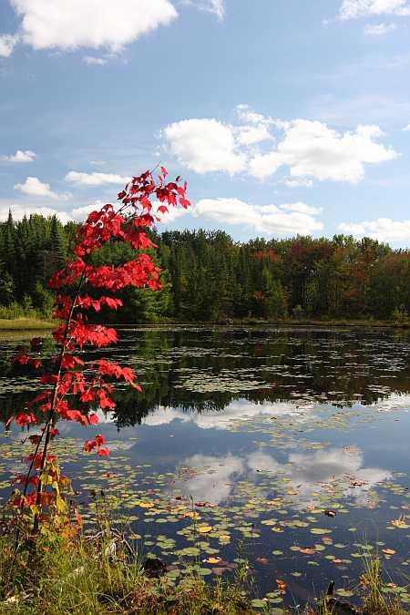 ruby foliage