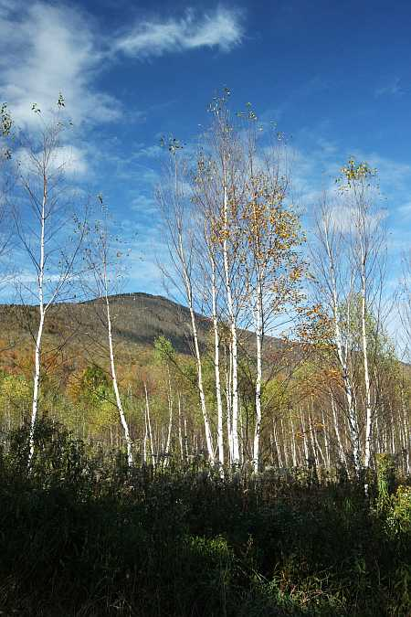 Greylock through birches