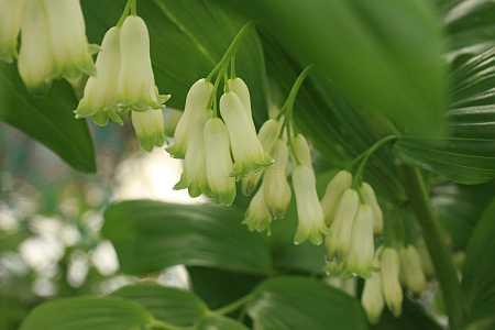 نبات خاتم سليمان