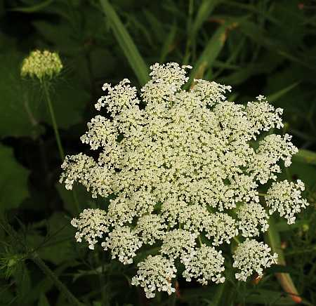 Poison hemlock little bang theory this one is a typical dark blood red and the young umbel is still in curled when fully open it will present a broad dome of complex white flower clusters mightylinksfo