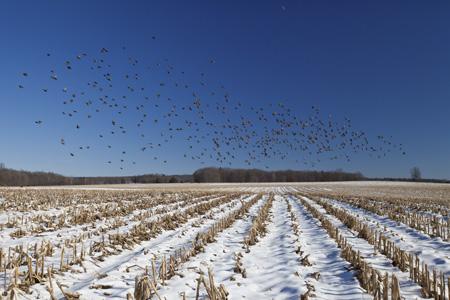 Cowbirds, Hadley