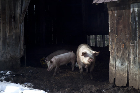 Hogs and Barn