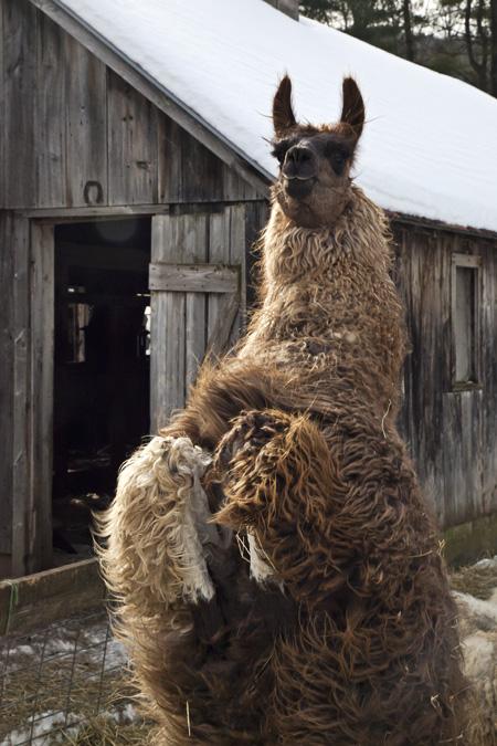 Llama Alarm